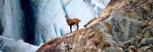 Tiere:Gams beim Gletscher